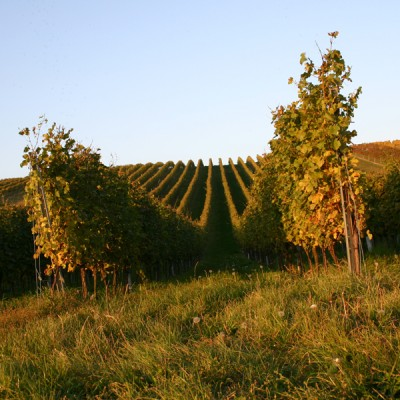 Our Rossern-vineyard