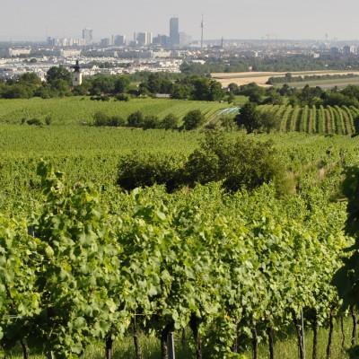 Unsere Weingärten in Wien
